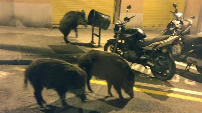 jabalis calles barcelona